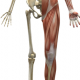 Lihased, luud, liigesed
